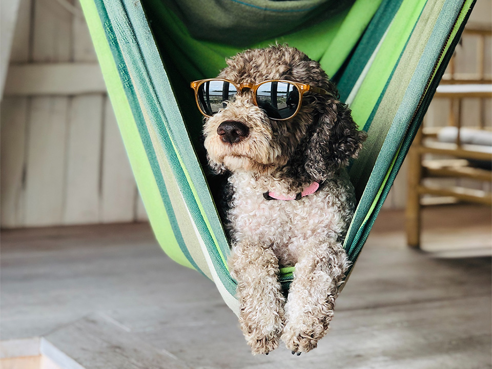 dog with swag